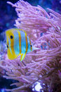 Butterfly fish in blue ocean Royalty Free Stock Photography