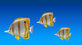 Butterfly fishes Royalty Free Stock Photo
