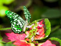 A butterfly flittering wings Royalty Free Stock Photo