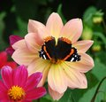 Butterfly on flower bright the Stock Photography