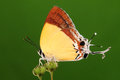 Butterfly on flower charana mandarina having rest brown stripes wings long tail Stock Image
