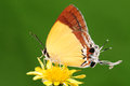Butterfly on flower charana mandarina having rest brown stripes wings long tail Stock Photos