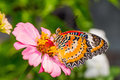 Butterfly and flower close up of male leopard lacewing cethosia cyane euanthes perching on zinnia Stock Photo