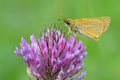 Butterfly on flower ochlodes sylvanus a purple Stock Photography