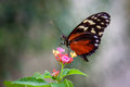 Butterfly on flower- plain tiger Stock Images
