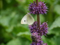 Butterfly on flower purple plant in garden Royalty Free Stock Photography