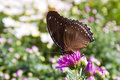 Butterfly on flower side view of brown resting purple Royalty Free Stock Photos