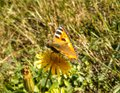 Butterfly on flower small tortoiseshell yellow mobile macro photo Stock Photo