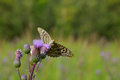 Butterfly on a flower sow thistle blooming pink creeping the sitting background blurred Stock Images