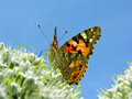Butterfly on the flowering onion Royalty Free Stock Photography