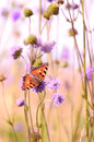 Butterfly on flowers aglais urticae succisa pratensis Royalty Free Stock Images