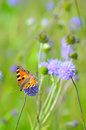 Butterfly on flowers aglais urticae succisa pratensis Stock Photos