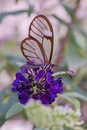 Butterfly with flowers greta oto costa rica clear wing neo tropical purple flower getting nectar Royalty Free Stock Image