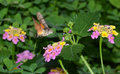 Butterfly on flowers pollination verbena Royalty Free Stock Images