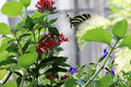 Butterfly flying florida native zebra butterflyover garden and bokeh effect in background in the city Stock Image