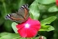 Butterfly Garden Commodore Presis Archesia Archesia
