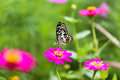 Butterfly in garden and flying to many flowers in garden, Beautiful butterfly in colorful garden or insect farm, Animal or insect Royalty Free Stock Photo