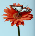 Butterfly on Gerbera Daisy Royalty Free Stock Photos