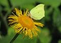 Butterfly Gonepteryx Royalty Free Stock Photo