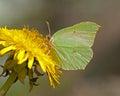 Butterfly Common Brimstone, Gonepteryx rhamni Royalty Free Stock Photo
