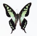 Butterfly (Graphium cloanthus) Royalty Free Stock Images