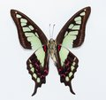 Butterfly (Graphium cloanthus) Stock Photography