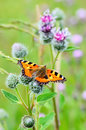 Butterfly on great burdock aglais urticae arctium lappa plant Royalty Free Stock Photo