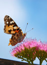 Butterfly Having Lunch Royalty Free Stock Photo