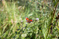 Butterfly Inachis io is sitting on flower Royalty Free Stock Photo