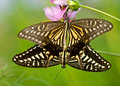 Butterfly intercourse eastphoto tukuchina animals capture Stock Images