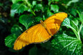 Butterfly Julia, Dryas iulia, detail,close up Royalty Free Stock Photo