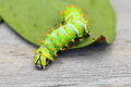 Butterfly larva Stock Photo