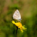 Butterfly lat polyommatus daphnis sitting on a flower Stock Photos