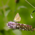 Butterfly lat polyommatus daphnis sitting on a flower Stock Photography