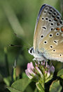 Butterfly lat polyommatus icarus sitting on a flower Stock Photo