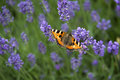 Butterfly on lavender beautiful sitting Royalty Free Stock Images