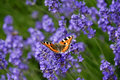 Butterfly on lavender Royalty Free Stock Photo