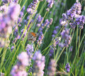 Butterfly on the lavender flowers Royalty Free Stock Photos