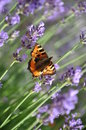 Butterfly on a lavender flowers Royalty Free Stock Photo