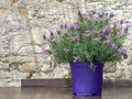 Butterfly lavender plant in pot. Lavandula pedunculata. Royalty Free Stock Photo