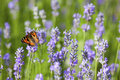 Butterfly on lavender small tortoiseshell blooming in summer Royalty Free Stock Images