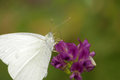 Butterfly on lavender white cabbage feeding the nectar of a flower in spring Royalty Free Stock Photography