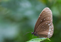 Butterfly on leaf a a Royalty Free Stock Photo