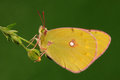 Butterfly on a leaf colias fieldii having rest white sopt wings Royalty Free Stock Image