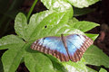 Butterfly on a leaf dorsal view of metallic blue Royalty Free Stock Photo