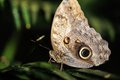 Butterfly on leaf standing with tip up wings Royalty Free Stock Photography