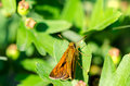 Butterfly on a leaf with wings closed resting Stock Photography