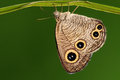 Butterfly on a leaf ypthima motschulskyi having rest there are eyes wings in order to threaten the enemy Stock Photo