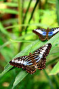 Butterfly and Leaves Royalty Free Stock Photo