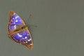 Butterfly - Lesser Purple Emperor